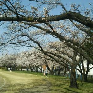散歩コースの桜並木が近く満開です。