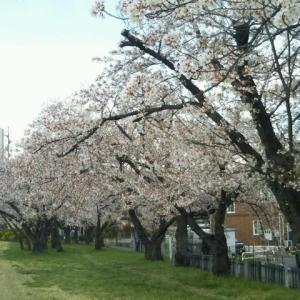 散歩コースは春爛漫