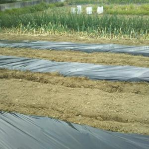 菜園に野菜の苗を植える準備が出来ました。