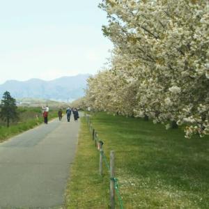 小布施の桜並木や長野運動公園の藤棚