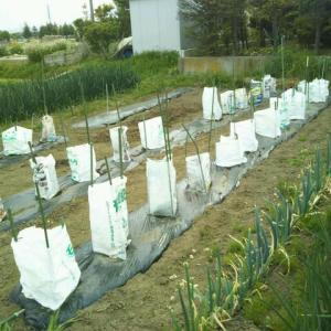 野菜の苗を家庭菜園に植えました。