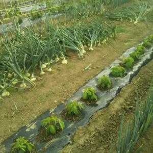 玉ネギの収穫をはじめました。