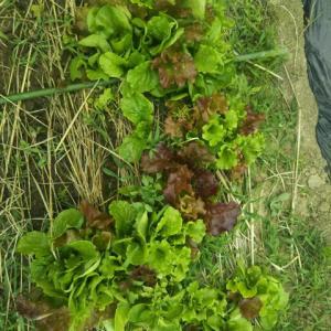 家庭菜園の野菜が採れはじめました。