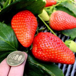 減農薬・有機栽培のいちご狩り7選!スカイベリーから希少種の絶品いちごも
