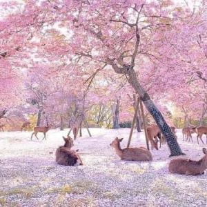 緊急事態宣言後の、奈良公園のようす