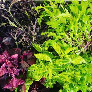 彩の葉野菜