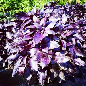 紫バジル レッドルビン