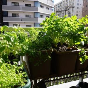 小松菜の収穫(有機種子 固定種)