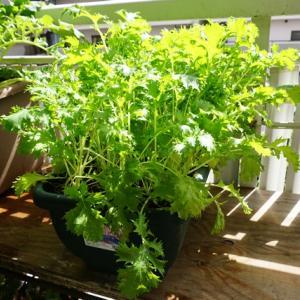水菜の収穫♪(有機種子 固定種)