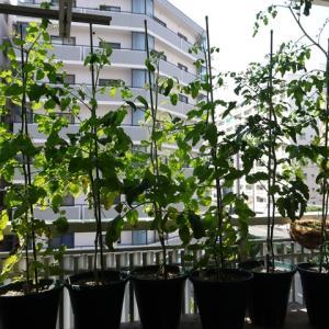 夏野菜の収穫が順調に始まってます♪