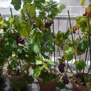 屋上菜園、イチジクとブドウが豊作です♪