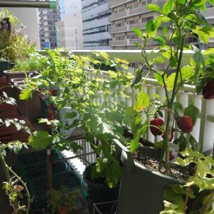 小松菜、のらぼう菜の発芽など♪