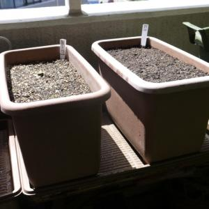 レタスの種まき&のらぼう菜の土寄せなど
