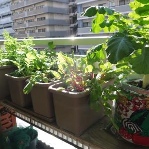 ロロロッサ、ロロビオンダ、結球レタスの発芽♪(有機種子 固定種)