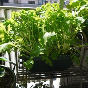 水菜の収穫と大株仕立て♪(有機種子 固定種)