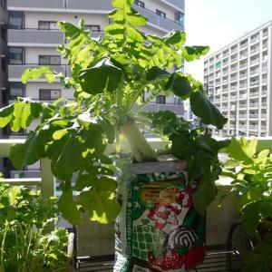 青首宮重大根の収穫♪(有機種子 袋栽培)