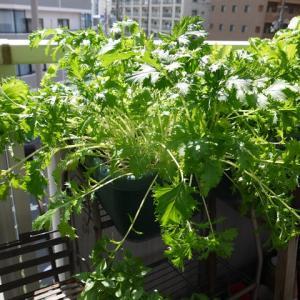 水菜、順調に収穫中です♪(有機種子 固定種)
