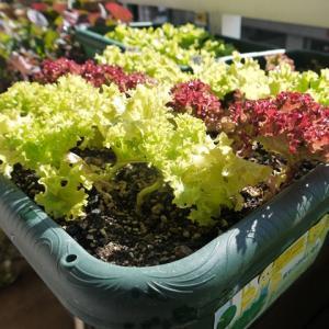 レタス系の収穫、ボチボチ続いています♪(有機種子 固定種)
