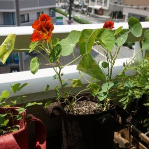 ナスタチウム、マリーゴールドの開花♪