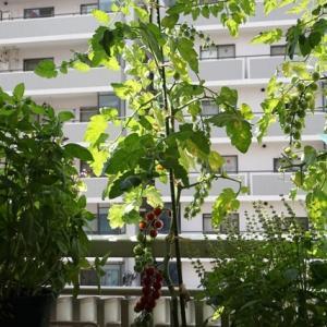 ミニトマトの収穫がはじまりました♪