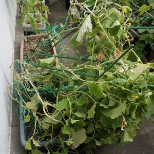 屋上菜園は、まさかの台風被害でした。