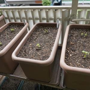 大根、水菜、しろ菜の発芽♪(有機種子 固定種)