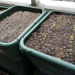 レタス類の発芽♪(有機種子 固定種)