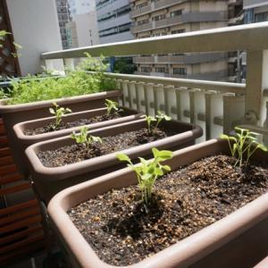 大根の土寄せ、春菊の種まきなど♪