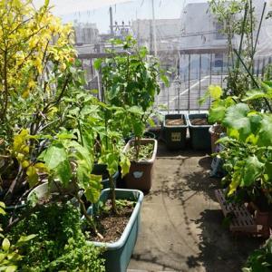 屋上菜園、ガーリックチャイブが順調です♪