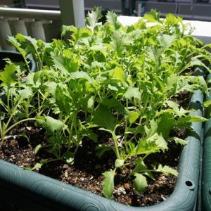 水菜、しろ菜の間引き収穫♪(有機種子 固定種)