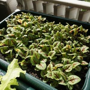レッドソレルの収穫♪(有機種子 固定種 )