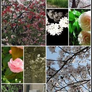 桜・夜桜・雪桜、そしてタルト・フレーズ・フロマージュ~