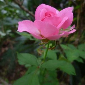 10年以上も咲いてくれております庭のバラさんです。