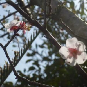 2020.2月。我が家の梅の木さんです。