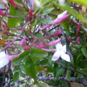 「メアリ-」羽衣ジャスミンさんが咲き始めたよ-。