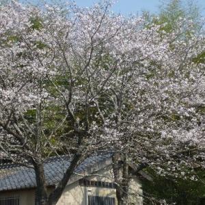 一応。。桜さんを。。
