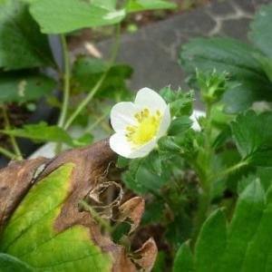 今の時期に「苺」さんのお花さんが。。