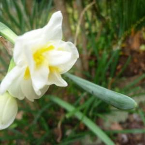 我が家の庭にはもう水仙さんが。。
