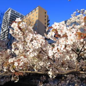 今年の桜は通りすがり