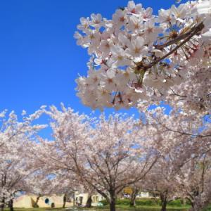 今年の桜は買い物帰り