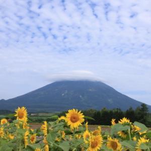 羊蹄山とひまわりとうろこ雲