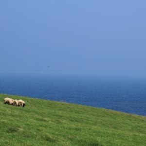 めん羊とオンコの焼尻島