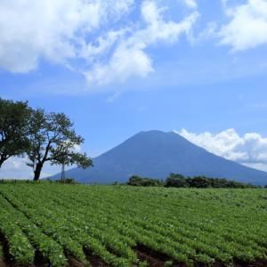 羊蹄山とサクランボの木
