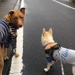 雨のあい間の犬散歩