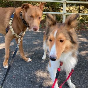 明日の出没情報・五郎と保護犬シェルティ