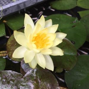 熱帯睡蓮が咲きました!