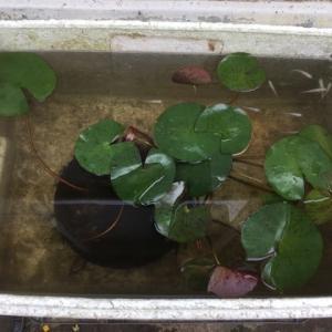猛暑日のメダカ池の記録