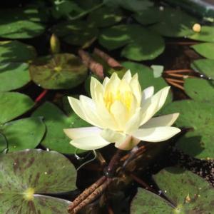 今日のメダカ池