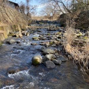 川に生えるふきのとうの写真を撮りに行って来ました