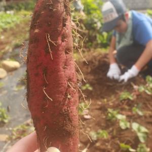今年のお芋掘り。